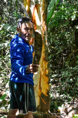 Harvesting Tsunu bark the sustainable way, only the bark!